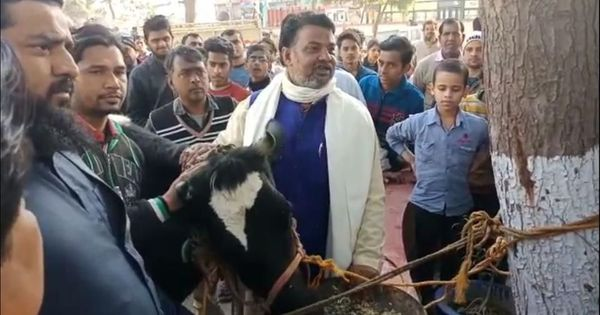Meerut: Muslim corporator leaves his cow at police station, says he fears attacks by vigilantes