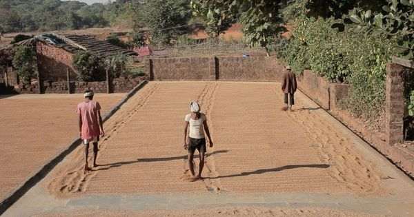 Watching rice drying is strangely riveting, as a documentary reveals