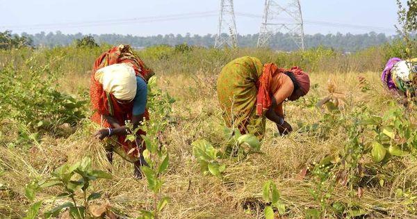 Madhya Pradesh's farmers have united to root out invasive lantana plants