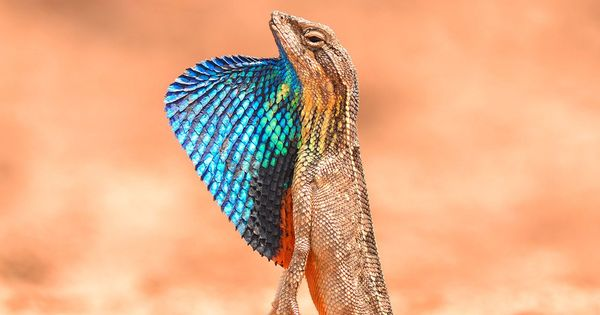 How monsoons prompted India's unique fan-throated lizards to spread out across the country