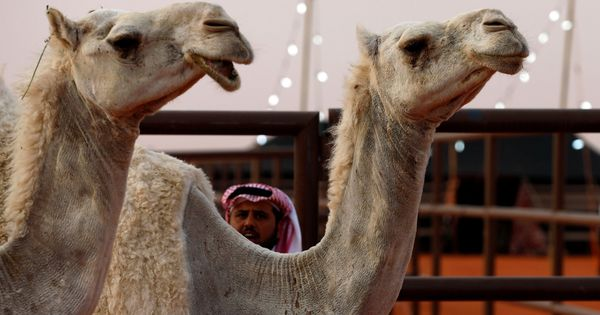 Saudi Arabia bans 12 camels from beauty contest over use of botox, plastic surgery