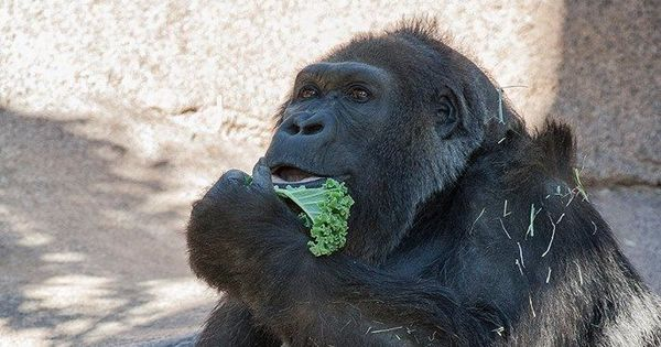 Vila, one of the oldest gorillas in the world, dies in San Diego at 60