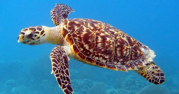 Climate change may have made sea turtle populations in the Great Barrier Reef turn female