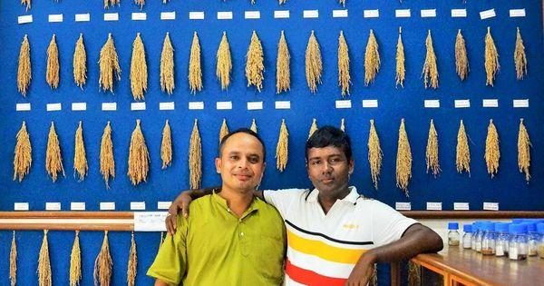 A seed library is preserving and promoting rare Assam rice varieties – one grain at a time