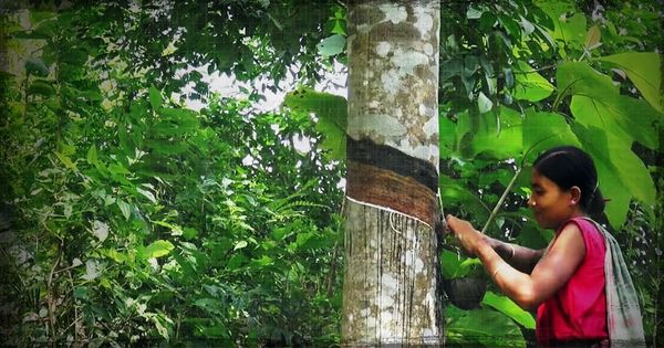 Rubber changed the face of rural Tripura. Will it help the Left cling to power?