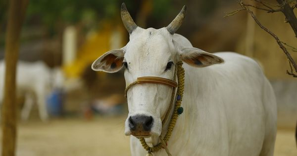 Kota: Five arrested for allegedly beating up two men transporting cows to Madhya Pradesh