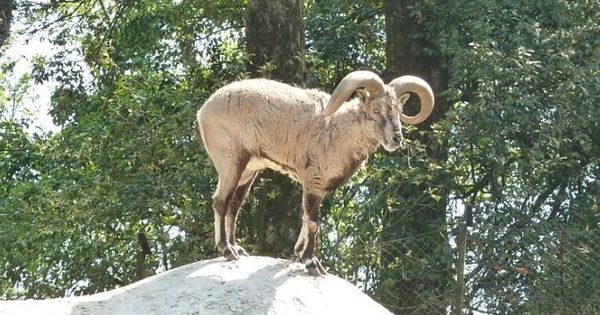 Uttarakhand fined for not submitting plan to check a disease that's killing Himalayan blue sheep