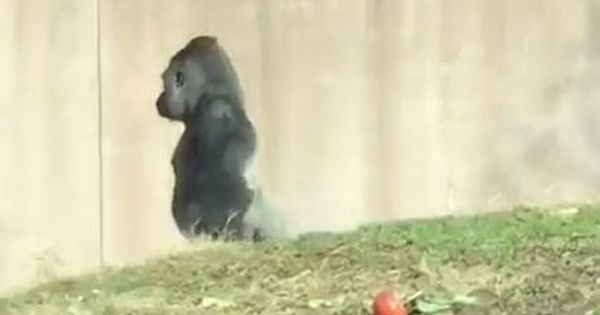 Watch: This gorilla is often spotted walking upright like humans