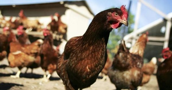 Why the Indian poultry industry is chicken about American imports