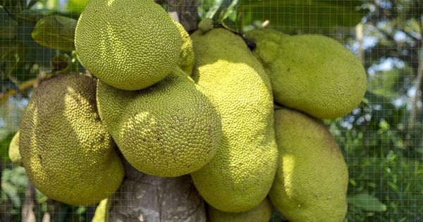 Video: Why Kerala has chosen the jackfruit as its official fruit