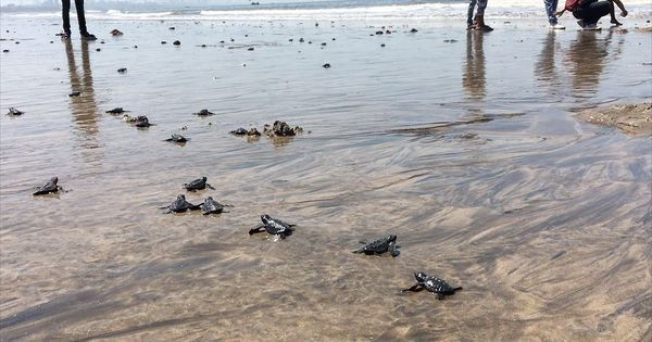 Video: How Mumbai's Versova beach became a nesting ground for Olive Ridley turtles