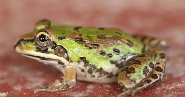 Popular for meat and rumoured medicinal value, frogs are on the decline in Sikkim Himalayas