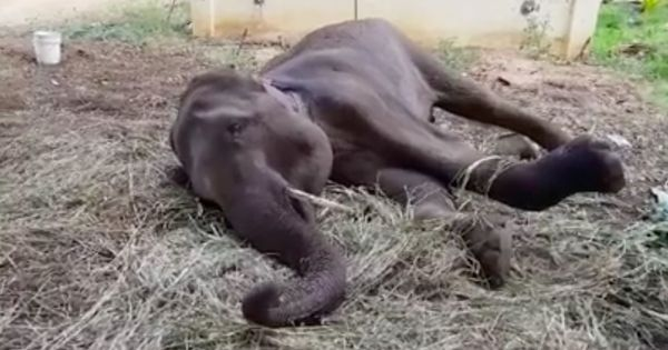 Madras High Court allows mercy killing of 'guarded to grave' elephant at Salem temple