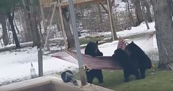 Caught on camera: A group of bears fails adorably to climb into a hammock