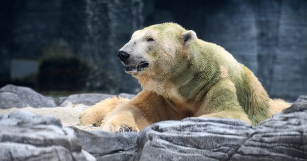 Singapore: Inuka, the first ever polar bear born in the tropics, dies