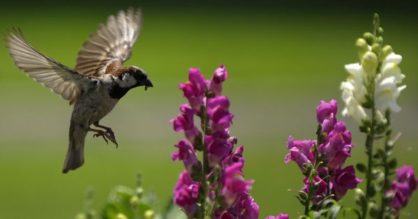 The sparrow is dying out in Indian cities. This is how you can help save it from your terrace