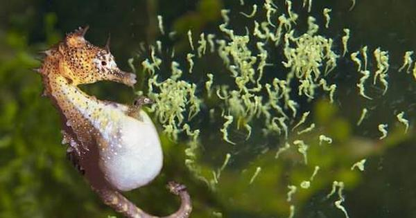 Watch the amazing sight of a male seahorse giving birth to a large number of babies