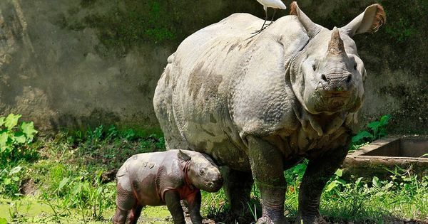 In Kaziranga, an orphanage raises baby rhinos till they're ready to go back into the wild