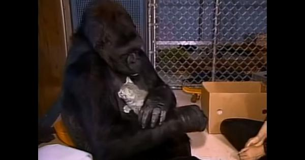 These videos look back at the life of Koko  the gorilla (1972-2018), who learned sign language