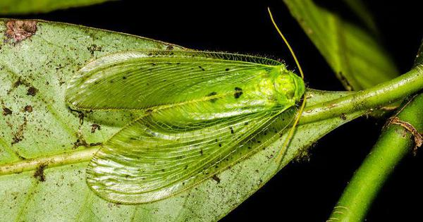 Netwinged insects: Invisible caretakers of India's forests, but little is known about them