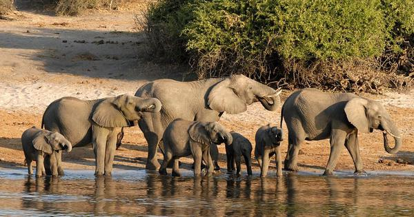 Once hailed as a conservation success story, Botswana is no longer a safe haven for elephants