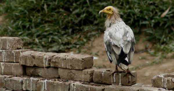 Egyptian vultures migrating to Rajasthan in winter show shifting antibiotic resistance pattern