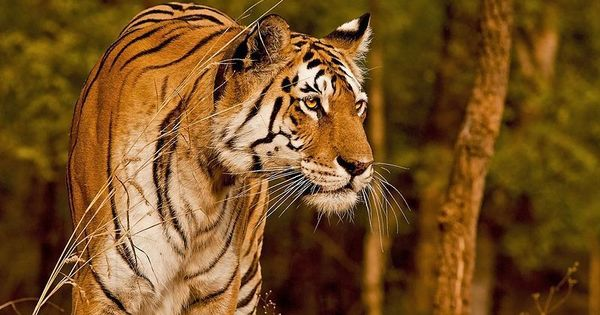 Beloved Pench tigress 'Collarwali' gives birth to her seventh litter