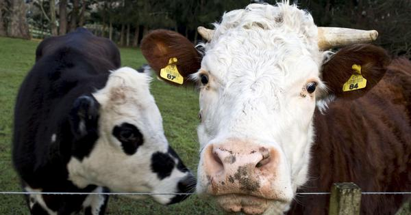 New Zealand orders the culling of 1.26 lakh cows in attempt to eradicate a disease