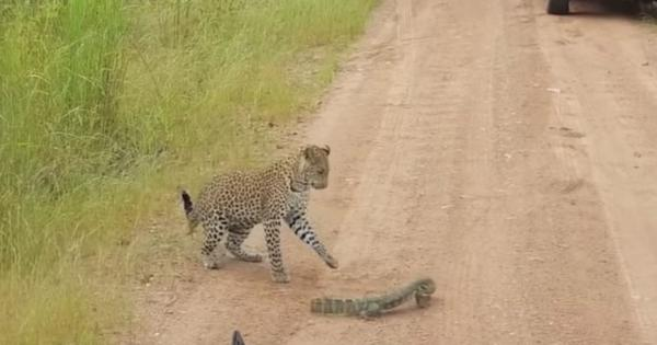 Watch this incredible face-off to death between a leopard cub and a monitor lizard