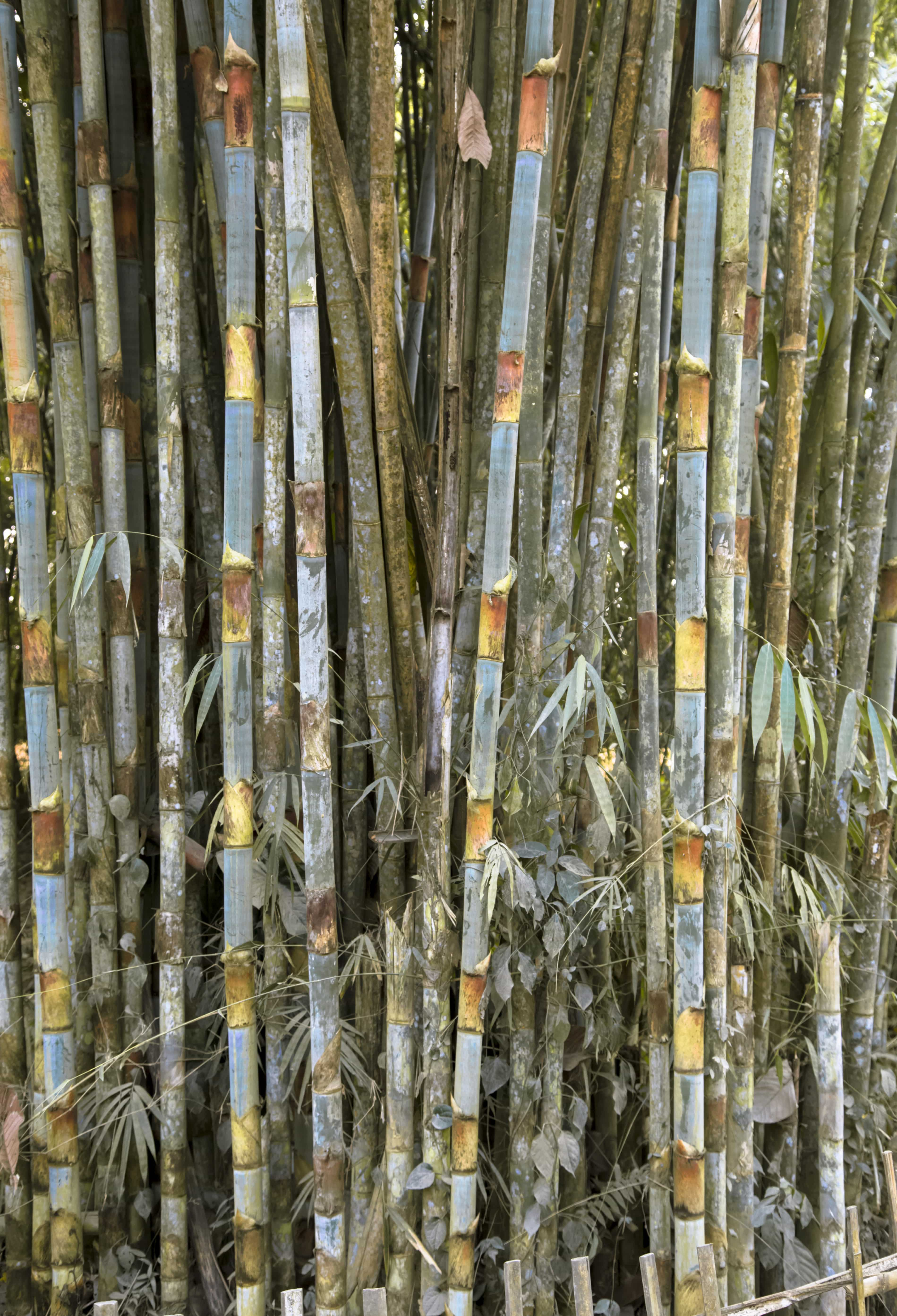 The colours of bamboo. (Photograph by Parasher Baruah).