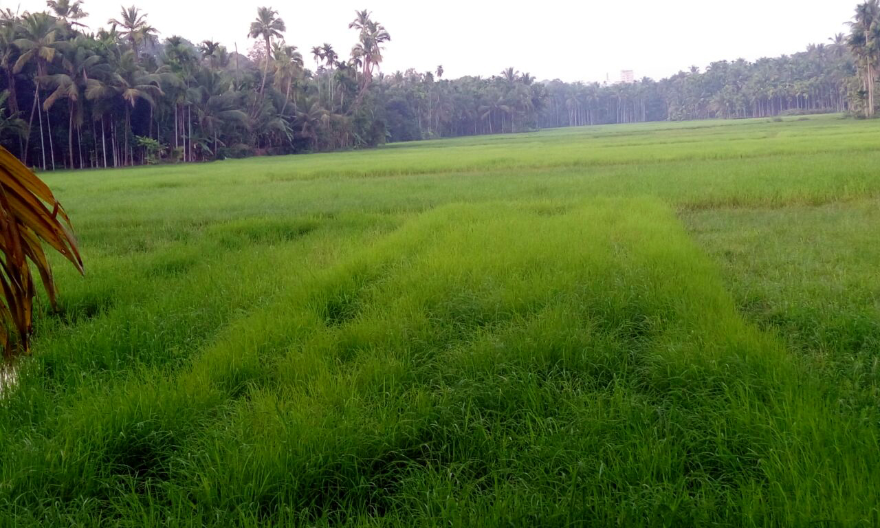 Keezhattoor's soil is ideal for paddy cultivation. (Photo: Special Arrangement)