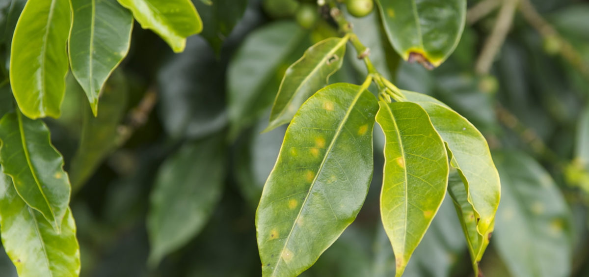 Yellow rust and other diseases attack the crops from what is considered the best coffee in the world. Photo credit: WCS Peru
