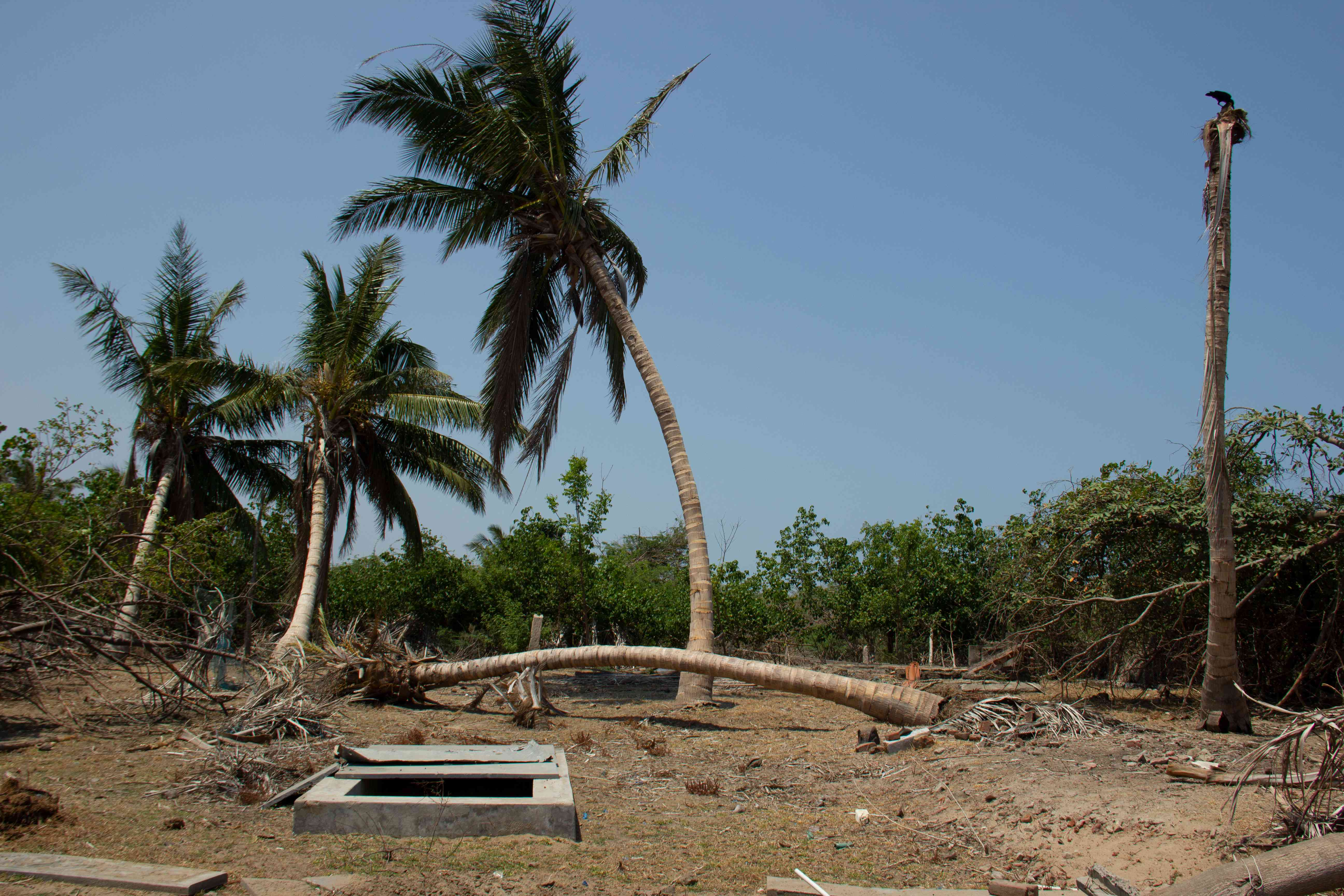 A coconut tree damaged during cyclone Gaja remains to be cleared in Arucottuthurai village in Nagapattinam in Tamil Nadu. Photo Credit: M Palanikumar|Pepcollective