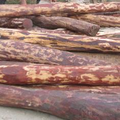 Exclusive: Andhra government initiates move to legalise the felling of red sanders trees