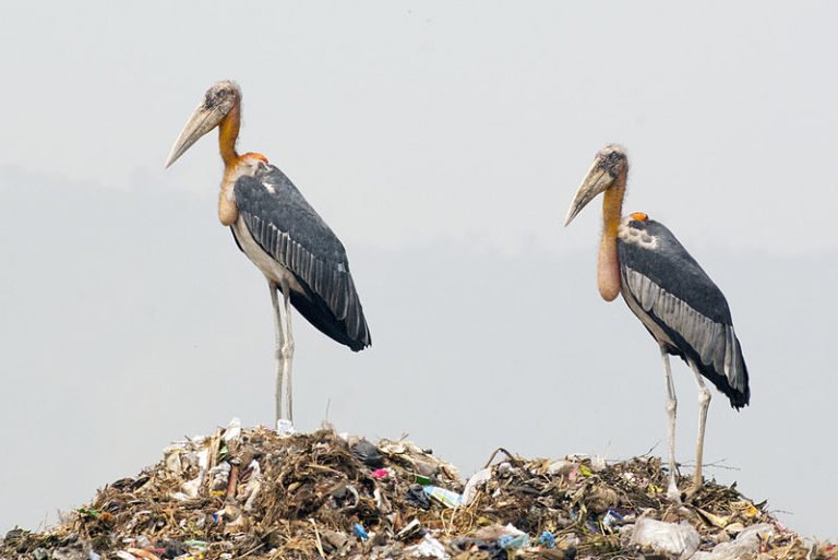 Two Greater Adjutant storks at Guwahati Dump. Image Credit: Yathin S. Krishnappa CC BY-SA 3.0