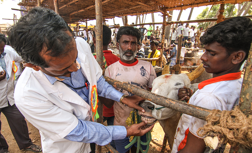 A veterinary doctor inspects a bull's teeth to make sure it is not too young for the sport. Jallikattu has evolved over time to incorporate several regulations and checks: all the bulls must undergo health checkups to ensure that they aren't injured, tortured or fed alcohol to make them fierce (an allegation made by animal rights activists).