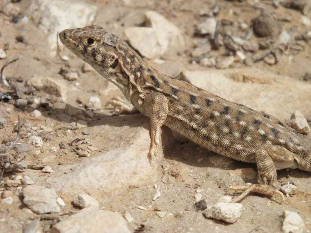 Be'er Sheva fringe-fingered lizard (Acanthodactylus beershebensis). Photo credit: Boaz Shacham/Wikimedia Commons [Creative Commons Attribution-Share Alike 3.0 Unported license].