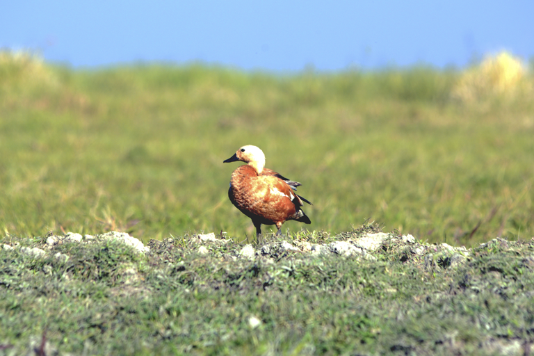 Ruddy shelduck in the proposed area of Thinungei Bird Sanctuary. Ducks and geese are the most prominent visitors in this region. Photo credit: RK Birjit.
