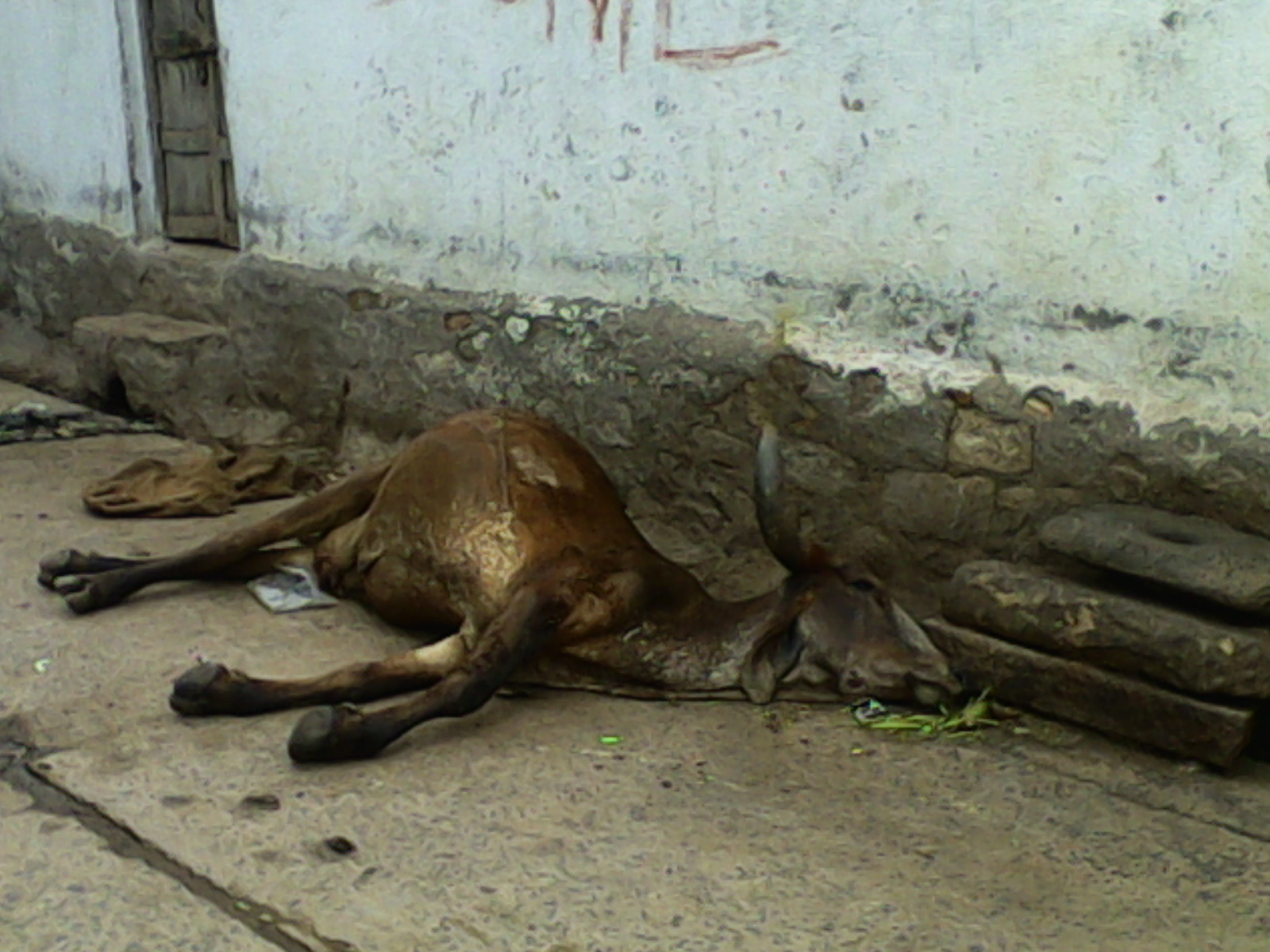 A cow carcass rots in Surendranagar town as a result of the boycott