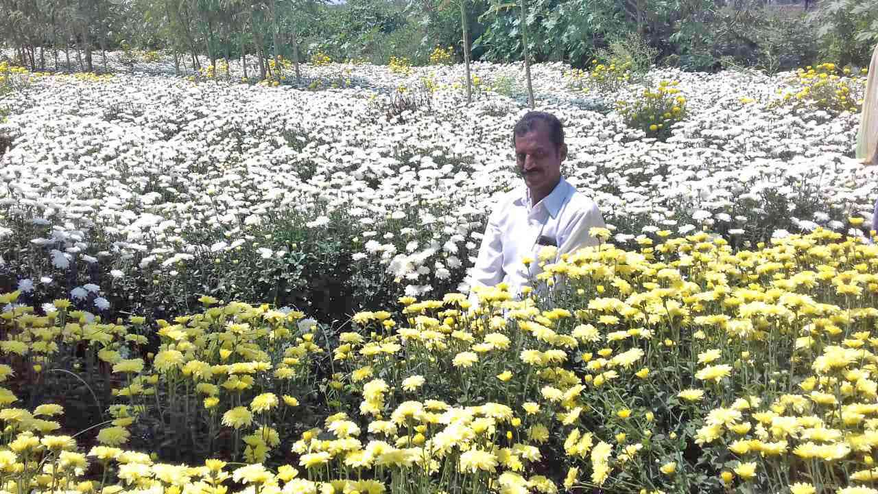 V Chandrasekhar Reddy in his chrysanthemum field in Kadapa, Andhra Pradesh. Photo credit: Aritra Bhattacharya
