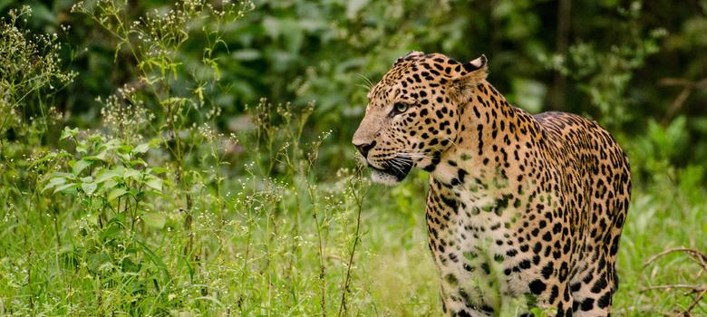 Why India's first-ever leopard census reveals little about the big cats' welfare