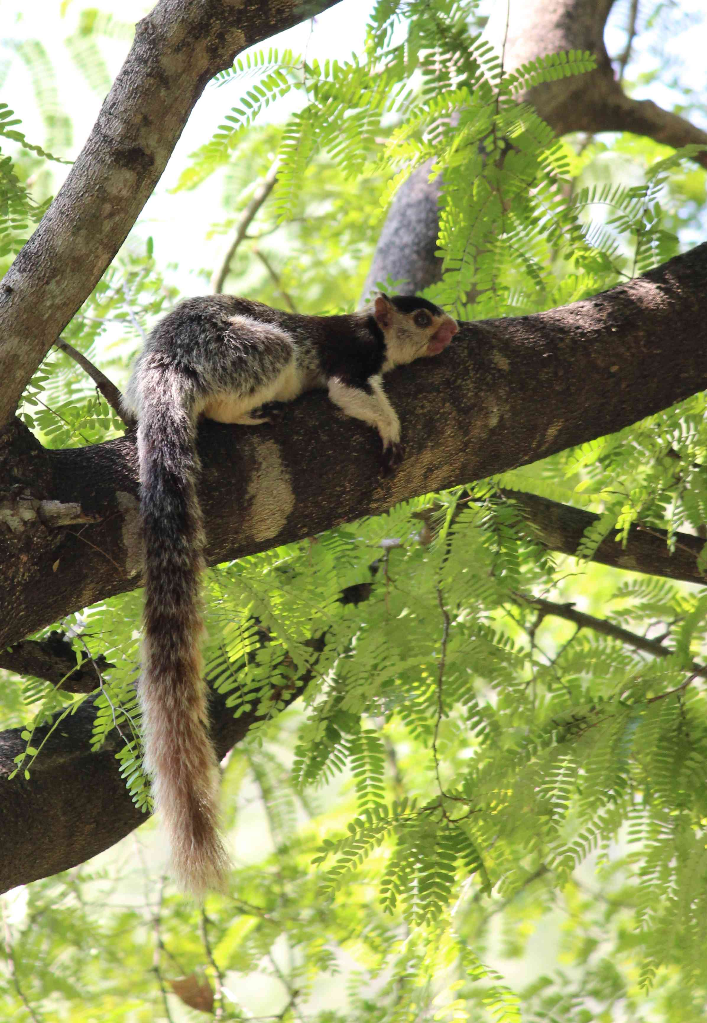 The grizzled giant squirrel(Ratufa macroura), a near threatened species, is found in parts of southern India and Sri Lanka. Photo Credit: Firos AK/Wikimedia Commons [Licensed under CC BY 4.0]