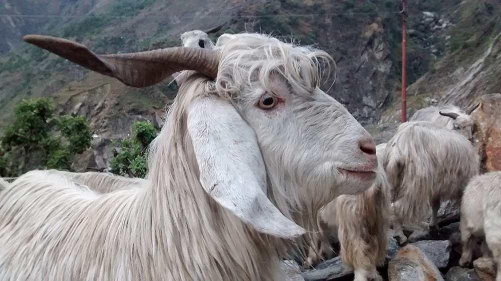In remote Himalayas, Indian herders are finding new ways around