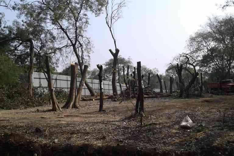 Citizens allege that cutting of trees is taking place illegally, without following procedures and transplanting is done unscientifically. Photo courtesy Dr. Salim Ali Bird Sanctuary Pune.