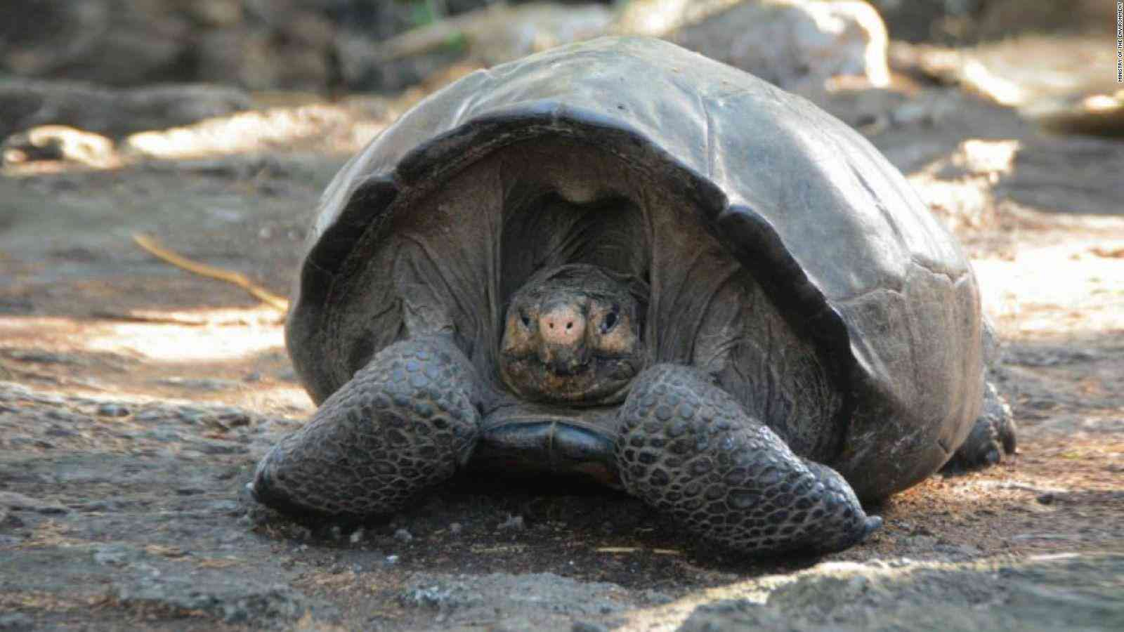A living specimen of the Fernandina Island Galápagos tortoise had not been seen since 1906. Photo via Twitter