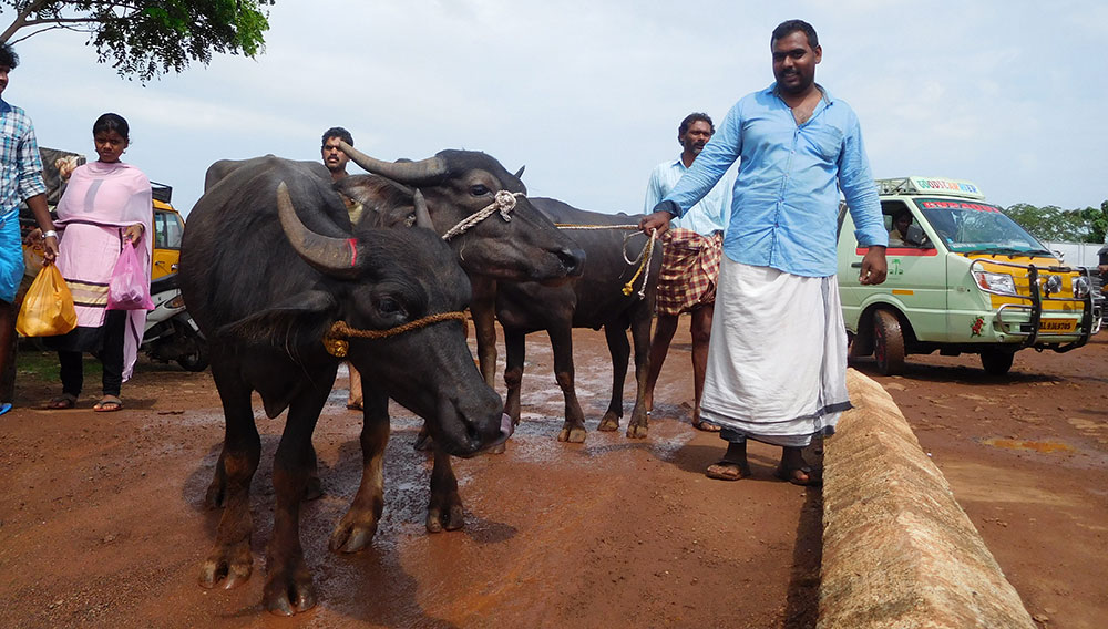 Kerala's popular Chelari weekly cattle market reels under