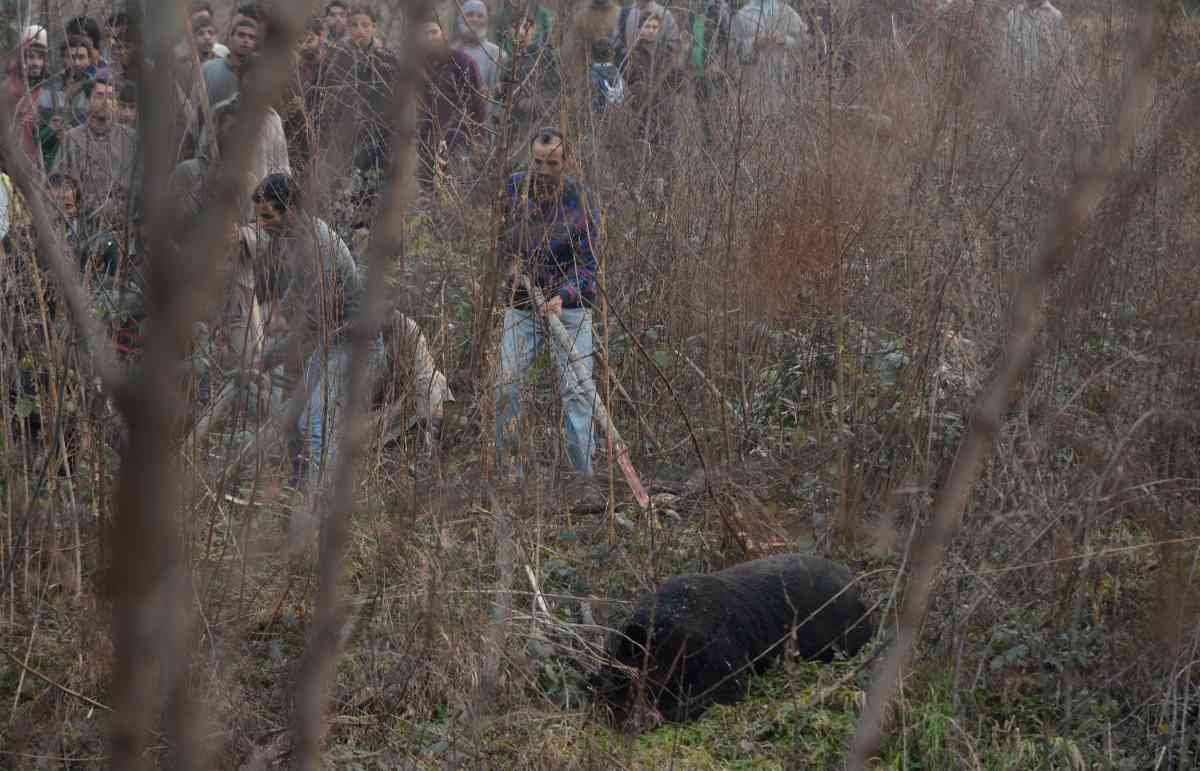 Kashmiri villagers beat a black bear that had caused panic in the Zakoora area, on the outskirts of Srinagar, in Kashmir, on December 3, 2012. (Photo credit: Tauseef Mustafa/AFP).