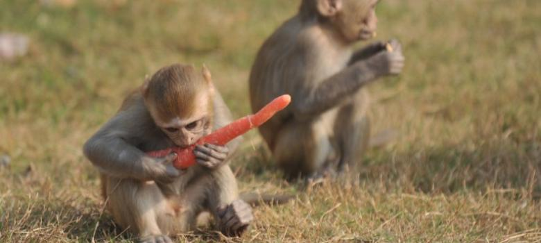 Image Of Wild Animals: Why The Indian Parliament's Monkey Problem Has No Easy