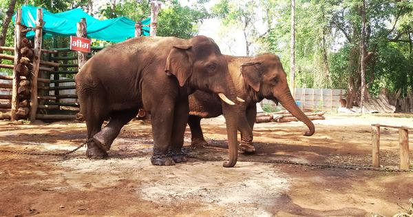 How thoughtless development is killing both elephants and people in Western India