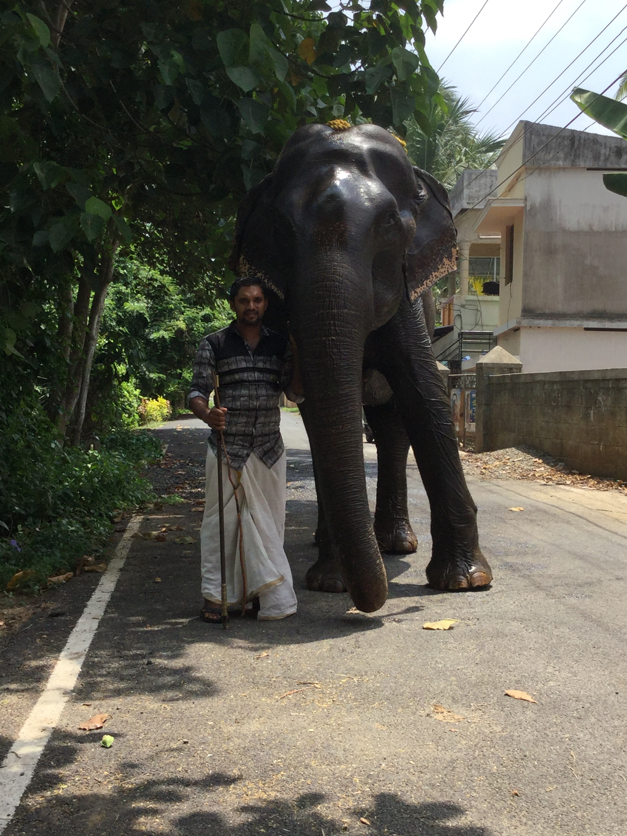 Mahout Mukesh Nair takes Dakshayani for a walk. Photo credit: Ashraf Padanna